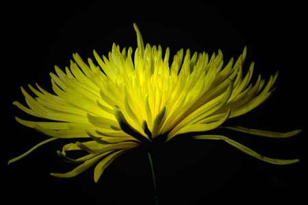 Side view of yellow spider mum flower