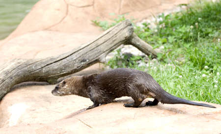 River otter standing near wooden log wet from swimming Stock Photo