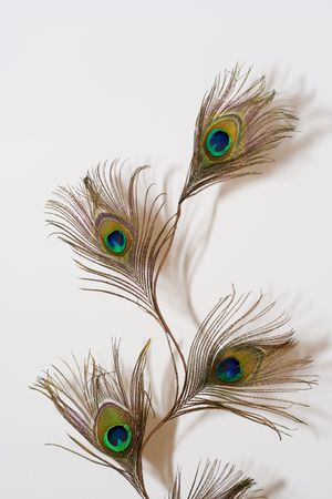 primp: Peacock feather on a white backgound