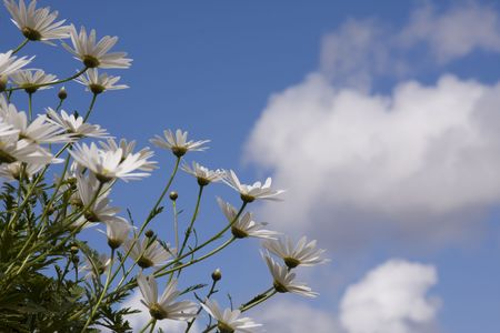 daisys: daisys in a garden with the sky as background (selective and soft focus)