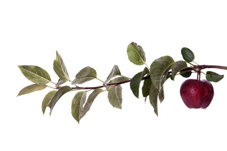 a branch of an apple tree with a fresh apple photo