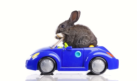 Rabbit driving a blue toy car (isolated on white) photo