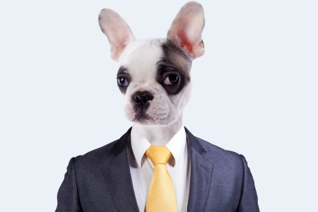 funny boston terrier: Businessman with a Boston Terrier dog face Stock Photo