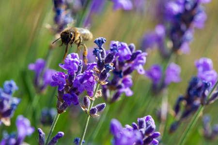 Honey bee foraging wild lavender flowers, Hautes-Alpes, France