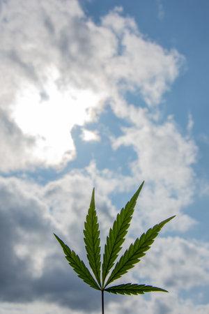 Cannabis leaf (cannabis sativa), cloudy sky background, copy space for text