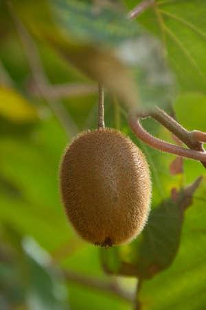 Kiwi fruit on a tree (Actinidia deliciosa) in autumn