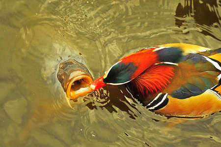 Duck and carp photo