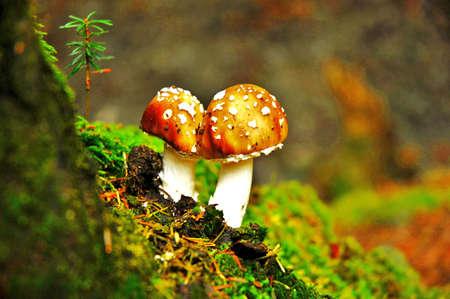 pflanzen: Panther Mushrooms