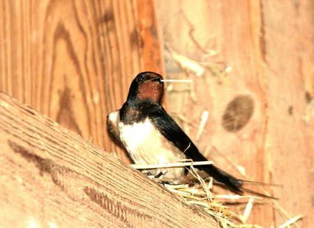 Swallow with a straw Stock fotó