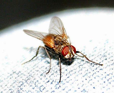 macrophoto: Fliege macrophoto