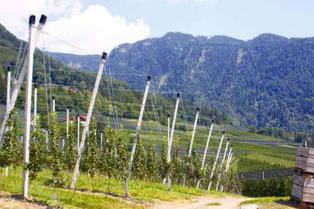 apple orchard: Apple orchard in South Tyrol