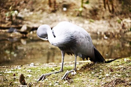 gray herons: heron Stock Photo
