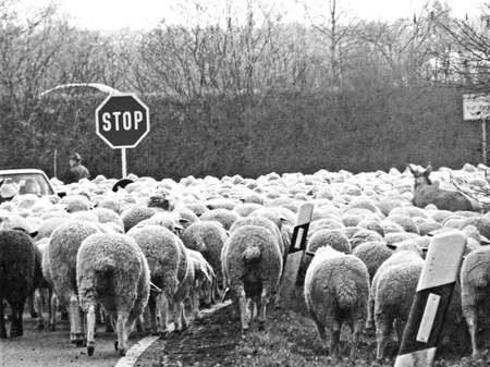 sheep road sign: flock of sheeps Stock Photo