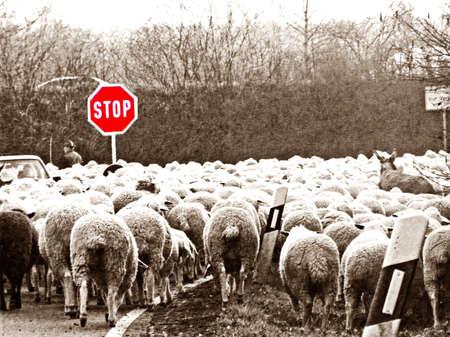 sheep road sign: sheeps Stock Photo