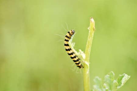 caterpillar of dovetail Stock Photo