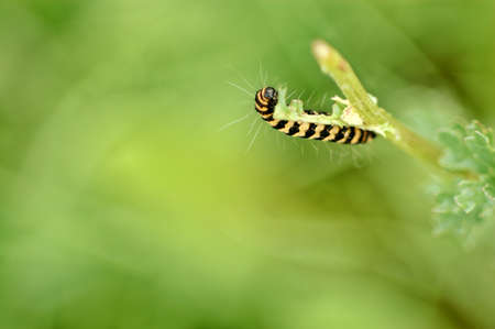 dovetail: caterpillar of the dovetail butterfly at herb Stock Photo