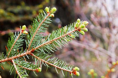 conifer: spruce buds conifer