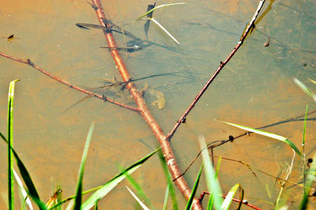 salamandre: Eau avec la salamandre