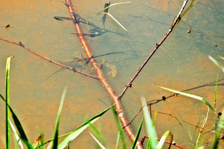 animals amphibious: Water with salamander