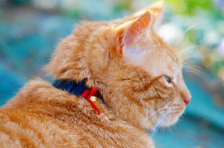 redhaired: Portrait of a redhaired cat