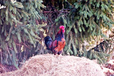 heap: cock on a manure heap