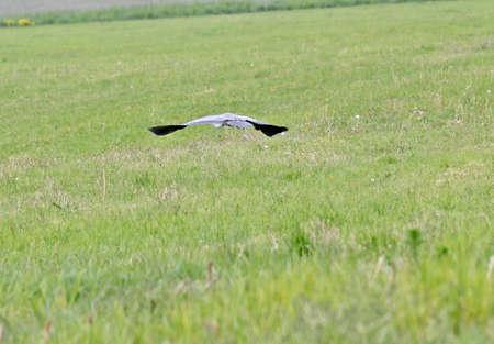 heron: heron flying over Meadows