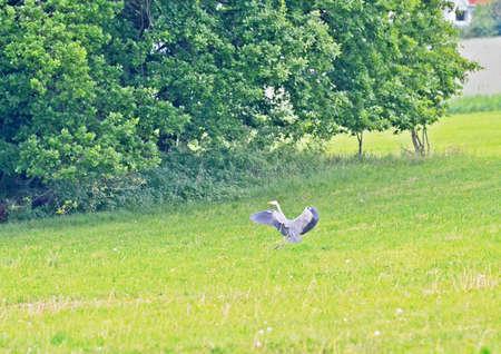 heron: landing heron Stock Photo