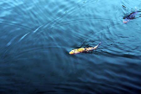 animals amphibious: carp in the blue water