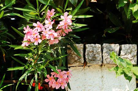 oleander: blooming oleander