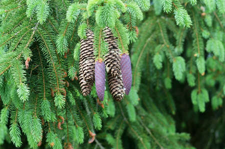 resin: spruce cone with resin