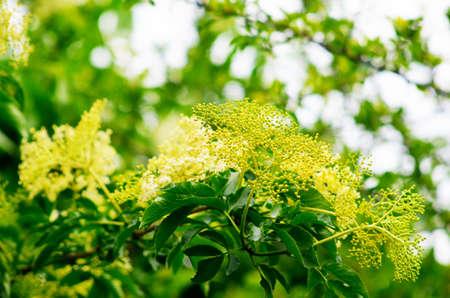 elder tree: Elder