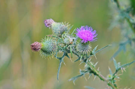 thistle: blooming thistle Stock Photo