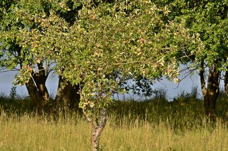 big apple: big apple tree with fruits
