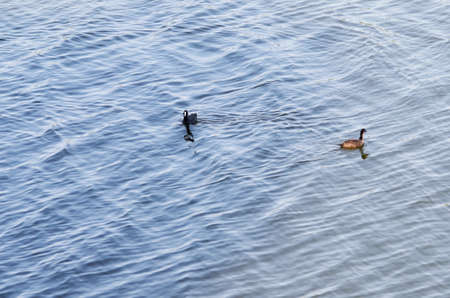 ducks water: Ducks in the water