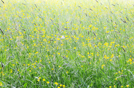 buttercups: Meadows with buttercups Stock Photo