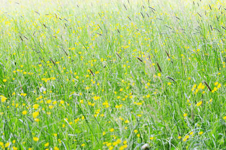 buttercups: yellow buttercups