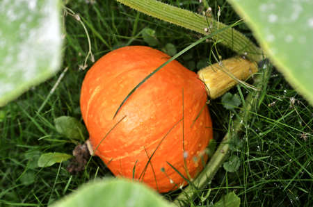 matured: matured pumpkin