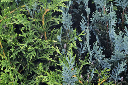 ornamental bush: juniper bush