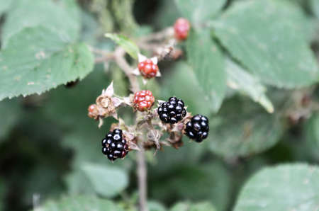 matured: matured blackberries