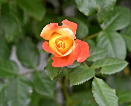 blooming: blooming rose Stock Photo