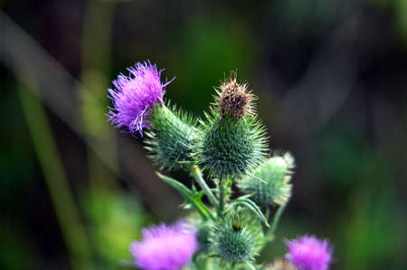 blooming: blooming thistle Stock Photo