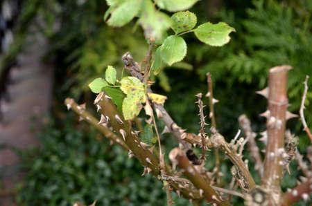 cutted: cutted rosebush