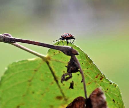 firebug: firebug on leaves