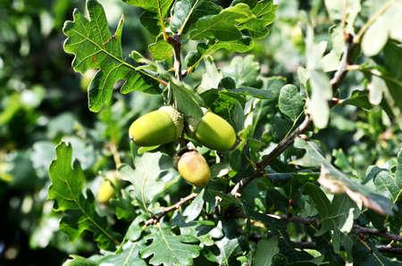 acorns: Oaktree with acorns