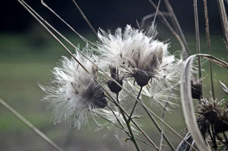 withered: withered dandelion Stock Photo