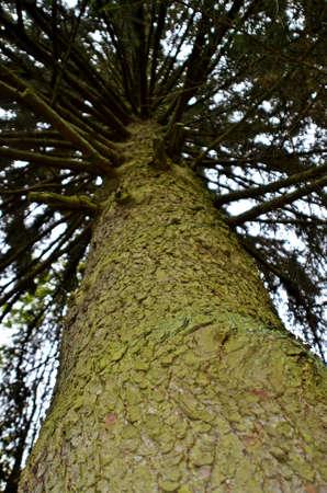 treetrunk: tree-trunk from undernearh Stock Photo