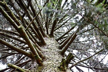 boughs: tree-trunk and boughs from underneath