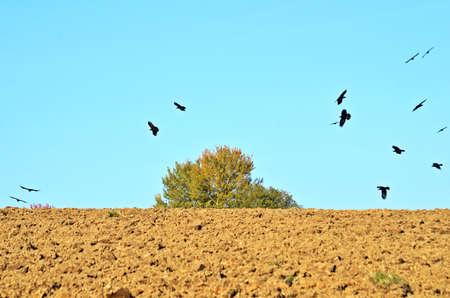 plowed: Birds over plowed fields