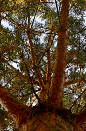 jawbone: boughs and needles of a pine