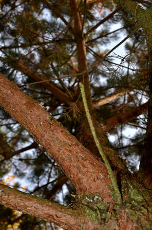 jawbone: pine tree